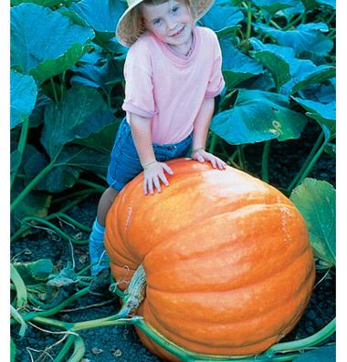Very Very Large Pumpkins At Nipomo Pumpkin Patch